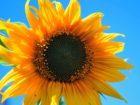 yellow-sunflower-flower-round-yellow-53407